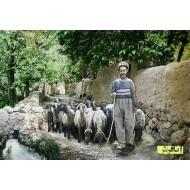 تابلوفرش چوپان و گله گوسفندان